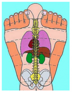 Reflexology Feet and organs